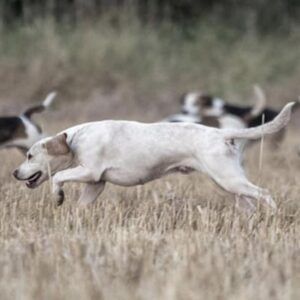 Beagle running across a field