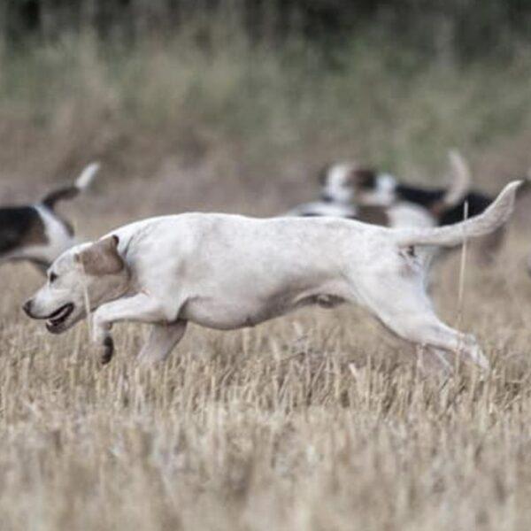 Beagle running across a field